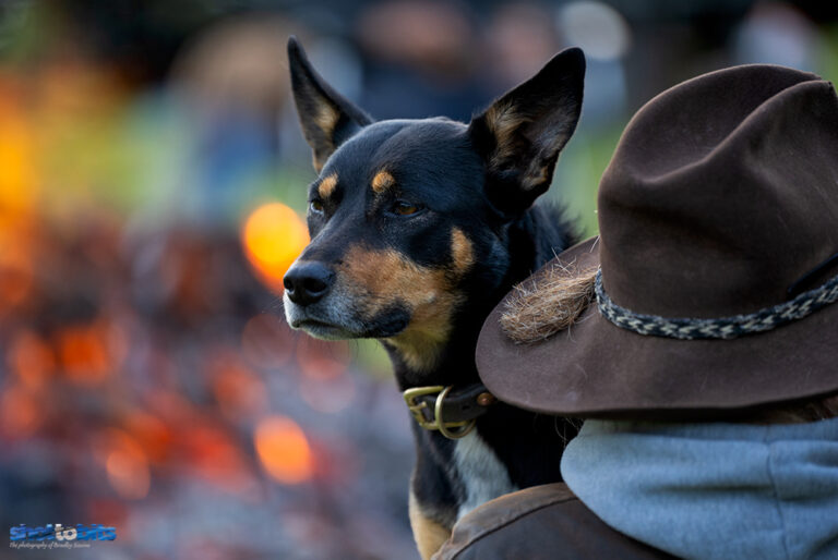 Working Dog, Thredbo Valley Horse Riding, Crackenback, NSW.