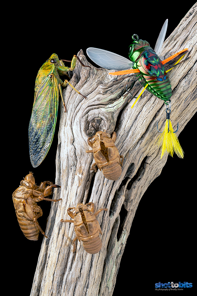 CICADA MATCH THE HATCH DUO REALIS SHINMUSHI KINKAME